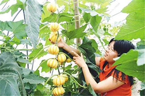 Graines de citrouille rares Cucurbita fil d'or de citrouille non-OGM légumes jardin Bonsai plantes ornementales semences Escalade 10 Pcs / sac 18