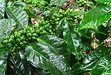 Coffea robusta - Robusta Kaffee - 5 Samen