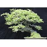 Tamarindus indica - - 10 semillas