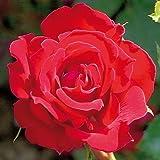 André Eve - Rosier Grimpant Red Parfum Everepra - Pot 5 Litres - Couleur : Rouge
