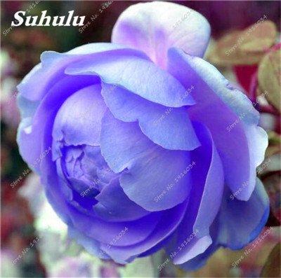 10 Pcs Pivoine graines, semences Potted extérieur, Bonsai Flower Seed, Variété complète, facile à cultiver, d'ornement-plantes pour jardin 17