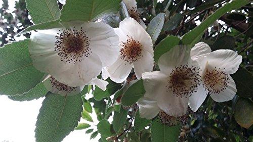 eucryphia-glutinosa-brush-bush-hardy-flowering-shrub-seedling-plant-in-a-7cm-pot-summer-flowering-st