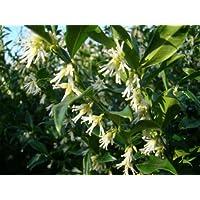 Plants de Sarcococca Confusa parfumés pour le jardin - Floraison en hiver - Idéal pour Noël