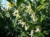 """Duftende Gartenpflanze, Winterblüher """"Sarcococca confusa"""", Weihnachts-Buchsbaum"""