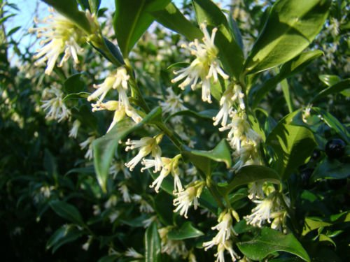 Galleria fotografica Pianta per giardino esterno, arbusto di Sarcococca confusa con fioritura invernale, arbusto