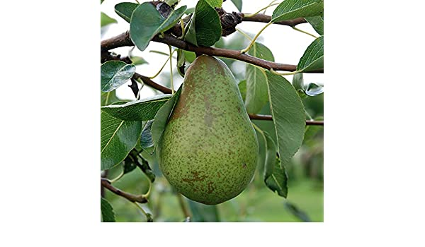 Gala Apple Patio Fruit Tree in a 5L Pot 1.2m Tall Grow Your Own Fruit