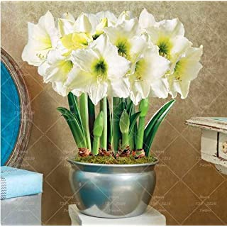 PLAT FIRM Germination Seeds: Limited Stock Super Big Bulb 1 Pcs Amaryllis White Awan Bulb heppeastrum Flower