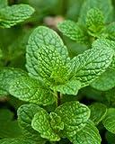 Pfefferminze- Spicata 100 Samen