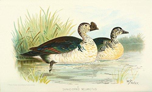 The Poster Corp Foster. W.H. - Indian Sporting Birds 1915 Knob-Billed Duck Kunstdruck (45,72 x 60,96 cm) -