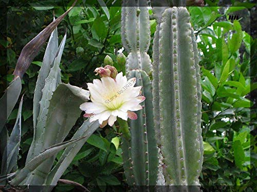 Galleria fotografica 200pcs / bag Rare Cactus Seed colori misti semi di fiore Resistenza Secco bella bella pianta dei bonsai Per la casa Giardino