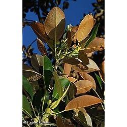 Ficus elastica - Gummibaum - 20 Samen