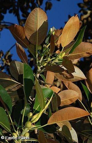 Ficus elastica – Gummibaum – 20 Samen