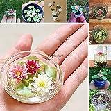 Plantree Colore 6: 5 Pezzi Mini Semi di Loto Semi di laghetto Acquario Germogliare Lotus Btl8