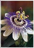 TROPICA - Blaue Passionsblume (Passiflora caerulea) - 25 Samen