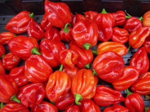 Bonnet Scotch Pepper Samen (Liveseeds-Pepper Caribbean Antillias Scotch Bonnet / Hot Chilli Pepper / 20 Samen)