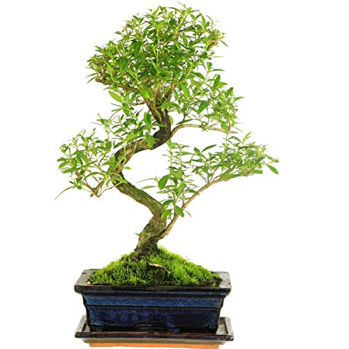 Junischnee, Bonsai, 9 Jahre, 38cm