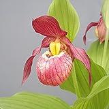 Cypripedium Gisela 6-7 Triebe Gartenorchidee, winterhart, Frauenschuh, Orchidee