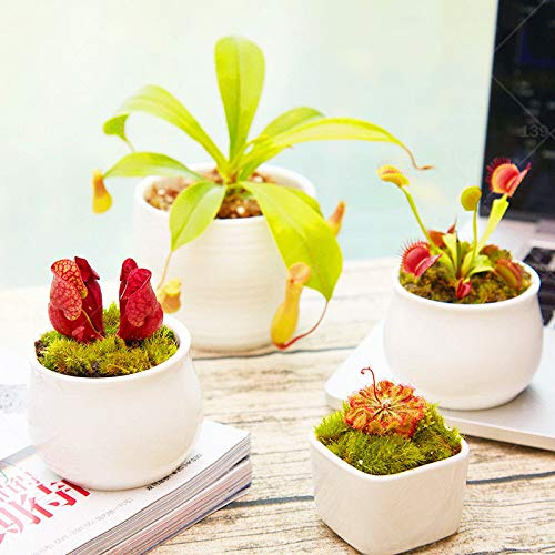 plat firm germinazione dei semi: 200pcs nepenthes comuni estate essenziale slurperon pitcher bonsai pianta antizanzare