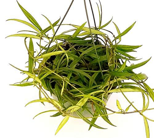HOYA PAUCIFLORA, pianta vera