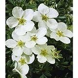 Dominik Blumen und Pflanzen, Fünffingerstrauch, Potentilla fruticosa,