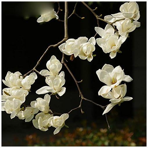 Balcone Fiori In Vaso Bianco Magnolia Semi Facile Da Coltivare