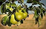 #7: Vamsha Nature Care Live Dwarf Pear Fruit Tree (Nashpati) Plant