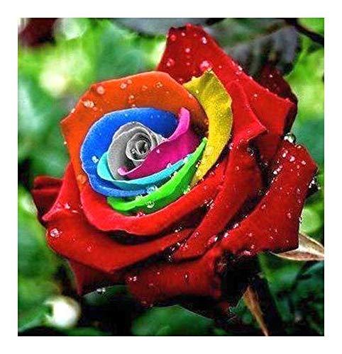 Rosa colores del arco iris - 10 semillas