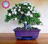 20 Stück weiße arabische Jasmin aromatische Pflanzen