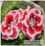 Fash Lady gloxinia flower gloxinia plant 100 pz: 4