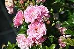 Rose The Fairy - rosa Bodendeckerrose...