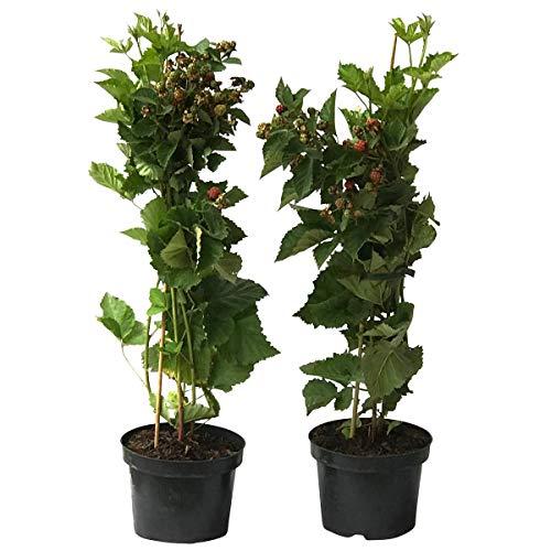 Müllers Grüner Garten Shop 2er Set Brombeere Reuben  süß groß aufrecht wachsend 2 mal tragend 40-80 cm hoch 3 Liter Topf