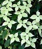 Japanischer Blumen-Hartriegel - Cornus kousa - Weiße Fontäne - sehr reichblühend - lange Blütezeit - 40-60 cm