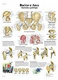 3B Scientific VR4172L Bacino e Anca, Anatomia e Patologia
