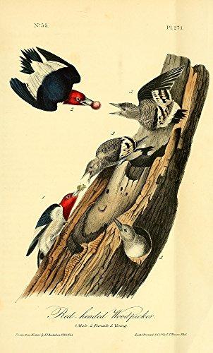 The Poster Corp J.J. Audubon - Birds of America 1844 Red-Headed Woodpecker Kunstdruck (45,72 x 60,96 cm) -