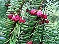 Weihnachtsbaum Serbische Fichte - Picea Omorika - verschiedene Größen von GardenPalms bei Du und dein Garten