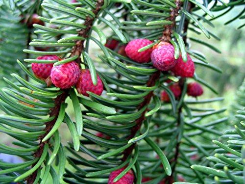 Weihnachtsbaum Serbische Fichte - Picea Omorika - verschiedene Größen (40-50cm - Topf 3 Ltr.)