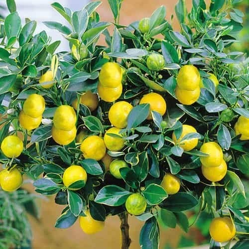 Xianjia Garten - Mini Zitronenbaum Samen Bio-Zitronen winterhart mehrjährig Bonsai Zitrone Essbar Obst Saatgut Zimmerpflanzen Obst Zitrone für Balkon, Garten (5)