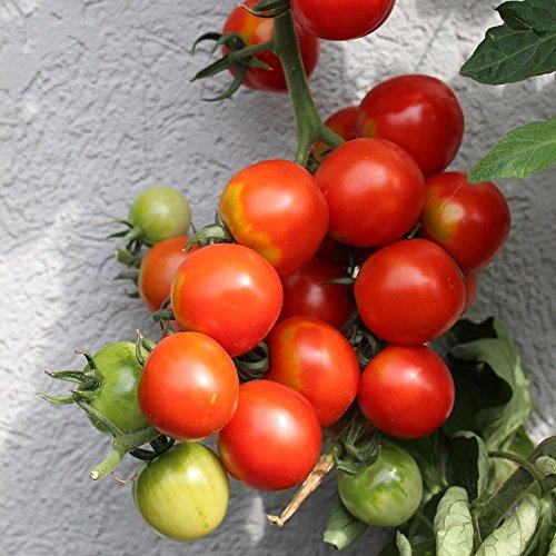 Gardeners Delight Tomatensamen für ca. 15 Pflanzen - Hoher Ertrag, weltweit beliebt
