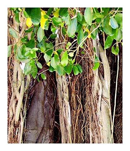 Figuier des Banyans - bonsaï - Ficus benghalensis - 100 graines