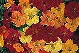 FLOWER NASTURTIUM CLIMBING GLEAM HYBRIDS 160 FINEST SEEDS