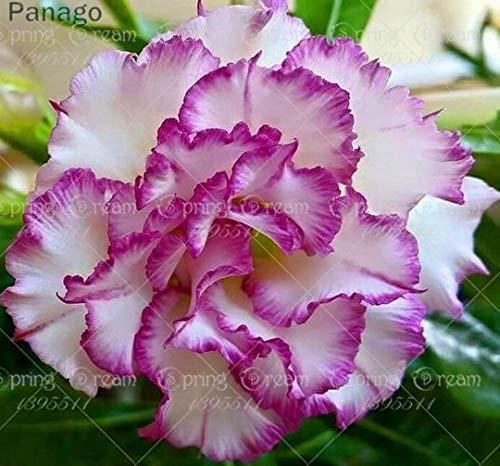 Pinkdose 2pcs Fiore rosa del deserto vero Adenium obesum bonsai fiore pianta piante grasse perenni piante in vaso al coperto per il giardino di casa: 22
