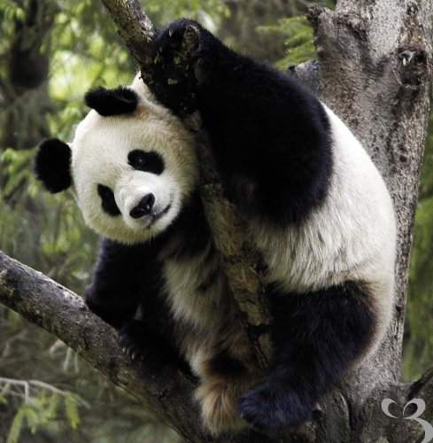 wwf-world-wildlife-fund-giant-panda-greetings-card