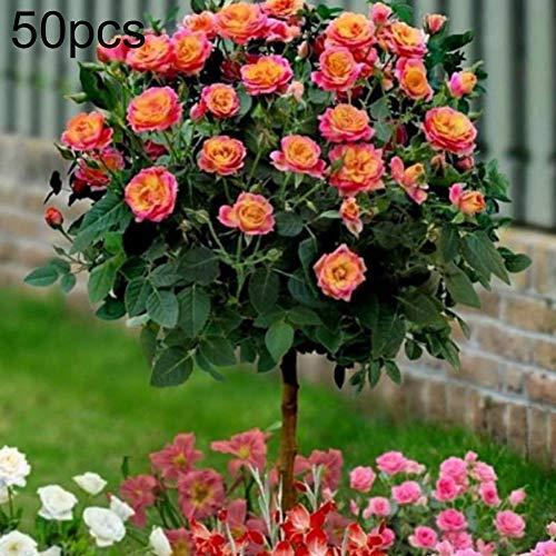 luo-401xx 50pcs fragranti semi di rosa albero, bellissimo balcone pianta bonsai facile da coltivare per la decorazione del cortile del giardino di casa semi di albero di rose