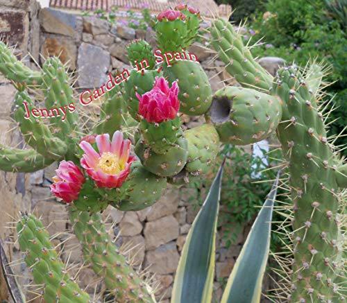 Photo Gallery portal cool 1 opuntia ficus indica, fig cactus, pianta di fico del nostro orto in spagna