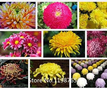 sementi-di-fiori-sementi-celosia-cresta-di-gallo-pnd-coda-semi-piante-dappartamento-fiori-nuova-di-a