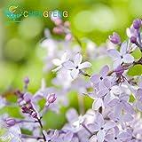 Green Seeds Co. 100 Graines mehrjährige Flieder Baum Pflanzen Garten TÃpfe seltene Blumen Pflanzen, Semillas Bonsai für Tohum Jardin Pflanzen Bonsai einfach Pl: Armee grün