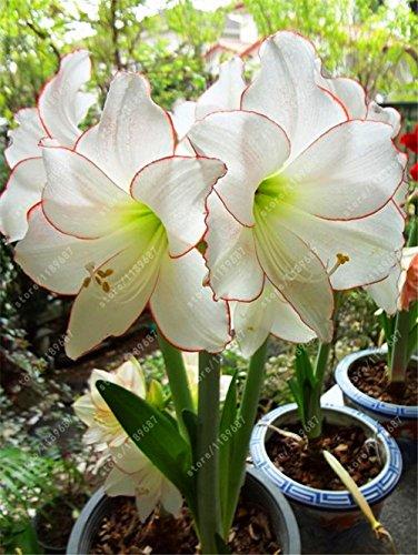 Galleria fotografica Vero Amaryllis lampadine, pianta orto Hippeastrum lampadine bonsai fiore bulbi Amarilis Rizomas bulbos Barbados Lily vaso - 1 lampadina 1