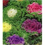 Go Green Kale Fringed Ornamnetal Cabbage Mixed Seeds (Pack of 50)