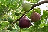 Rare Ficus carica Fig Fruit Live Plant (1 Healthy Live Plant)