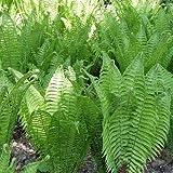 Straußfarn - Matteuccia struthiopteris - Farn von Native Plants